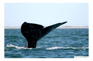 basse-californie-en-famille-baleines