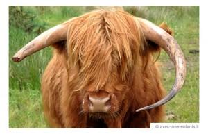 voyage-ecosse-en-famille-vache-highland