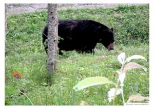 quebec-en-famille-quebec-ours