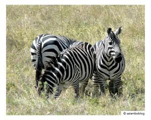 voyage-ethiopie-en-famille-zebre