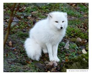 islande-en-famille-renard-polaire-zoo-reykjavik