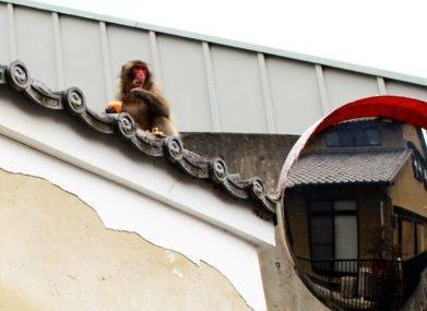Kyoto-en-famille-singe-voyage-japon