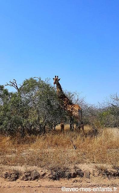 safari-afrique-du-sud-en-famille-kruger-girafe