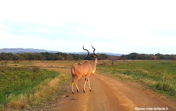 safari-afrique-du-sud-en-famille-park-kruger-antilope