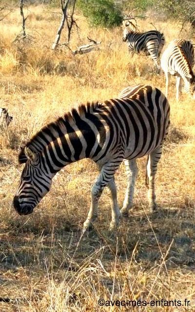 safari-en-famille-parc-kruger-zebre
