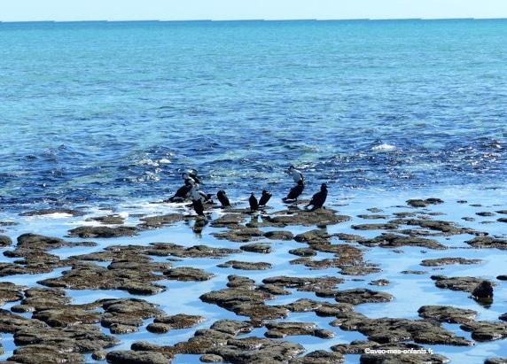 australie-en-famille-stromatolites-hamelin-pool-shark- bay